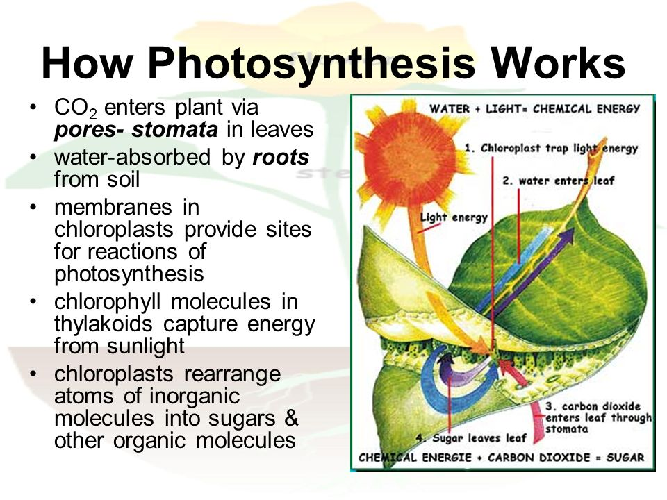 site of photsynthesis Shmoop biology explains the light-dependent and light-independent reactions part of our photosynthesis learning guide learning and teaching resource for the light-dependent and light-independent reactions written by phd students from stanford, harvard, berkeley.