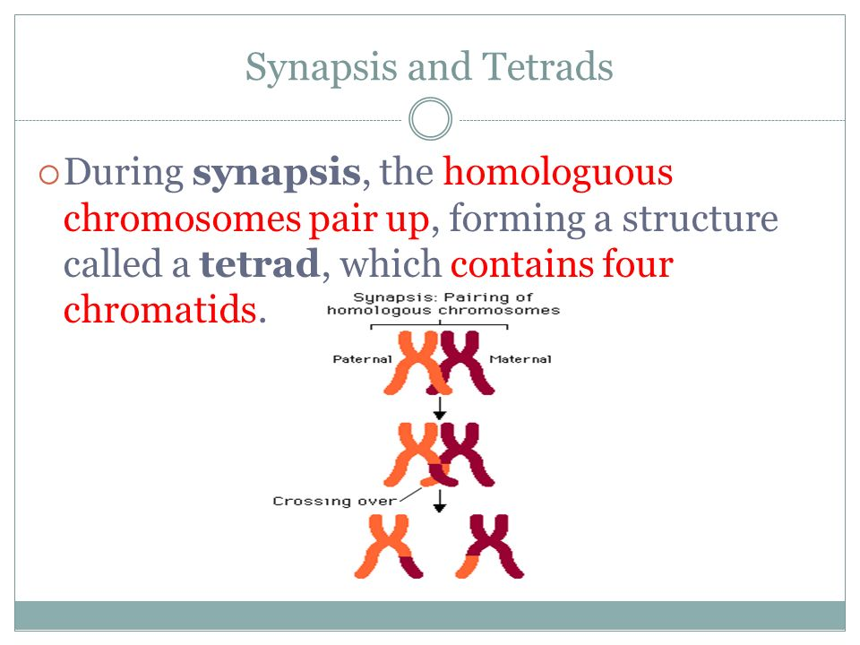 Synapsis and Tetrads During synapsis, the homologuous chromosomes pair up, forming a structure called a tetrad, which contains four chromatids.