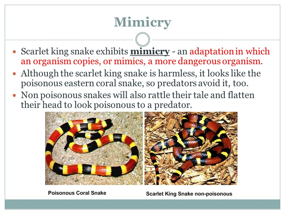 Mimicry Scarlet king snake exhibits mimicry - an adaptation in which an organism copies, or mimics, a more dangerous organism.