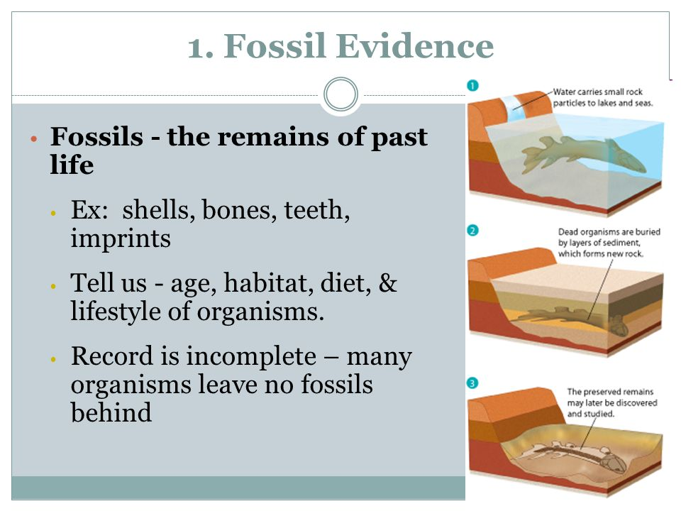 1. Fossil Evidence Fossils - the remains of past life