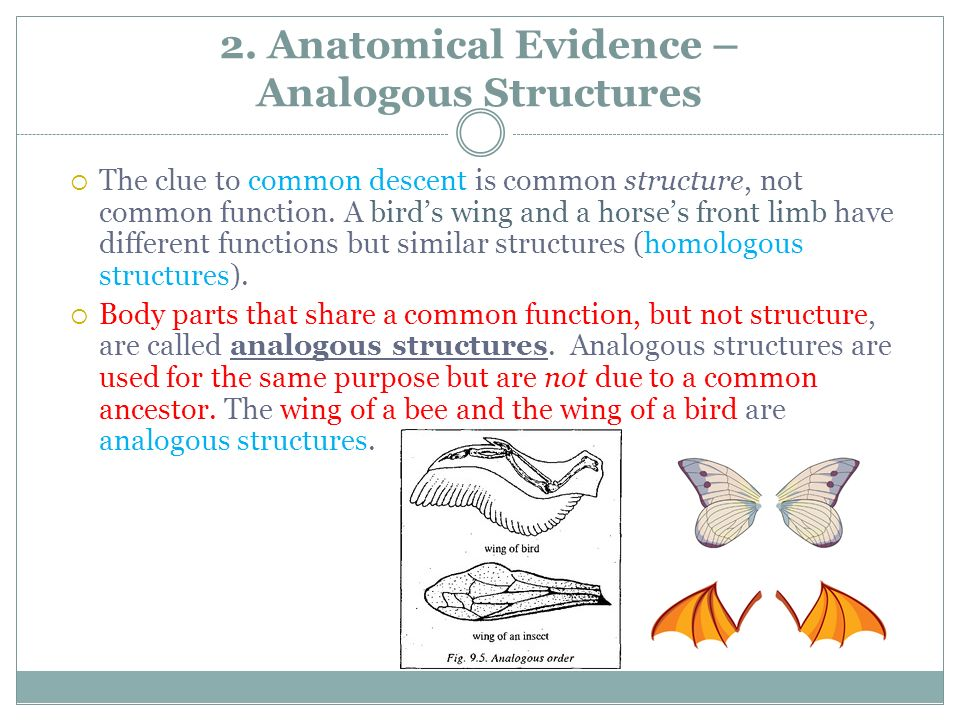 2. Anatomical Evidence – Analogous Structures