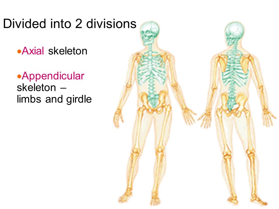 axial and appendicular system