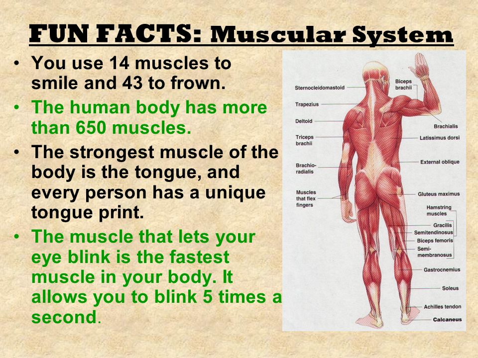 interesting facts muscular system – citybeauty, Muscles