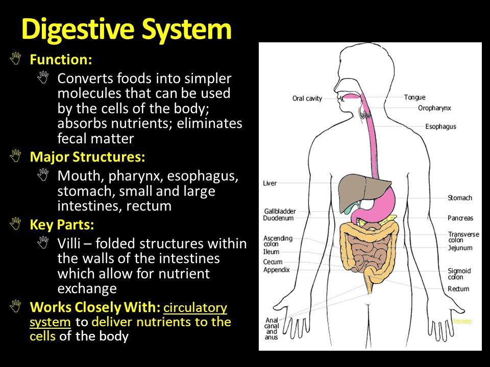 observation of digestive and circulatory systems The circulatory system includes the heart, blood vessels and blood, and is vital for fighting diseases and maintaining homeostasis (proper temperature and ph balance) the system's main function.