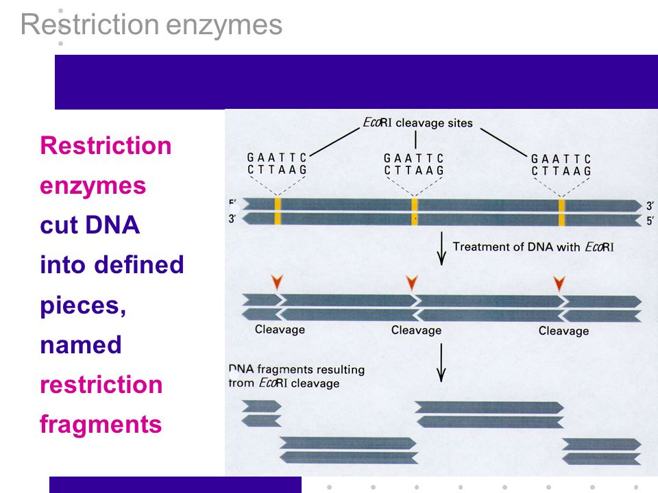 restriction enzymes research papers Demonstrate how restriction enzymes are used in genetic scale will be logarithmic and special semi-log graph paper will be l = no restriction enzyme.