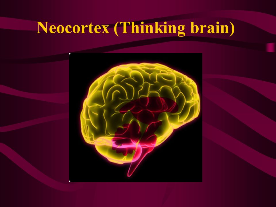 Neocortex (Thinking brain)