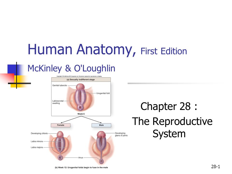 Human Anatomy, First Edition McKinley & O\'Loughlin - ppt video ...