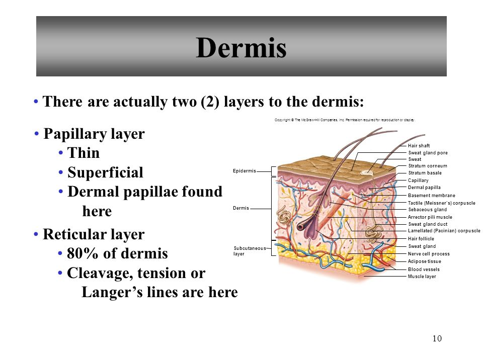 Dermis There are actually two (2) layers to the dermis: