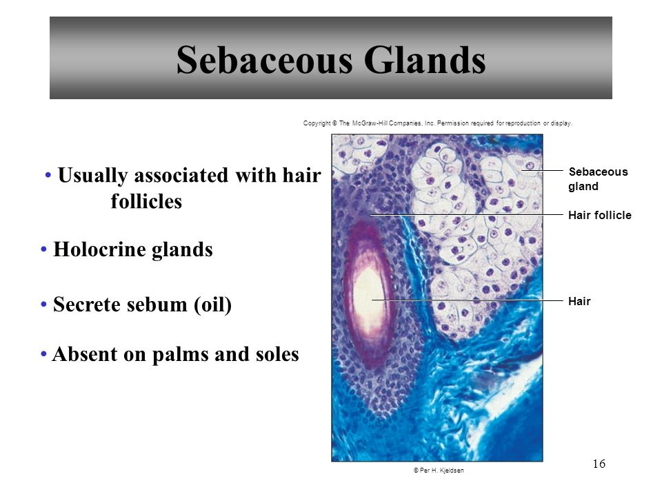Sebaceous Glands Usually associated with hair follicles