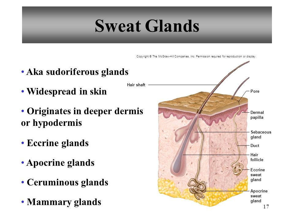 Sweat Glands Aka sudoriferous glands Widespread in skin
