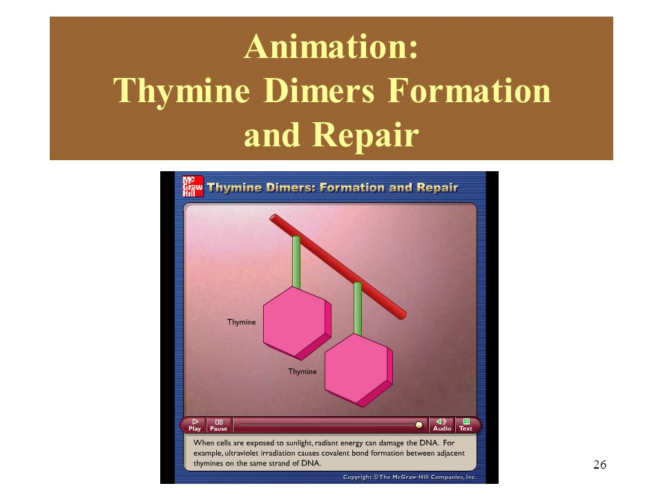 Animation: Thymine Dimers Formation and Repair