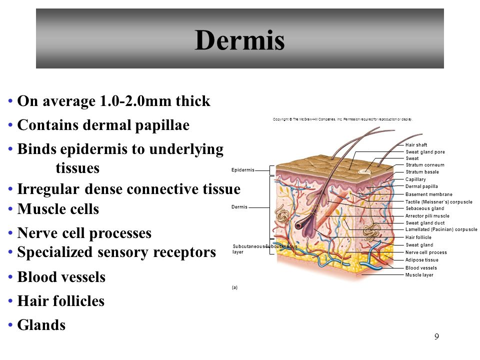 Dermis On average mm thick Contains dermal papillae