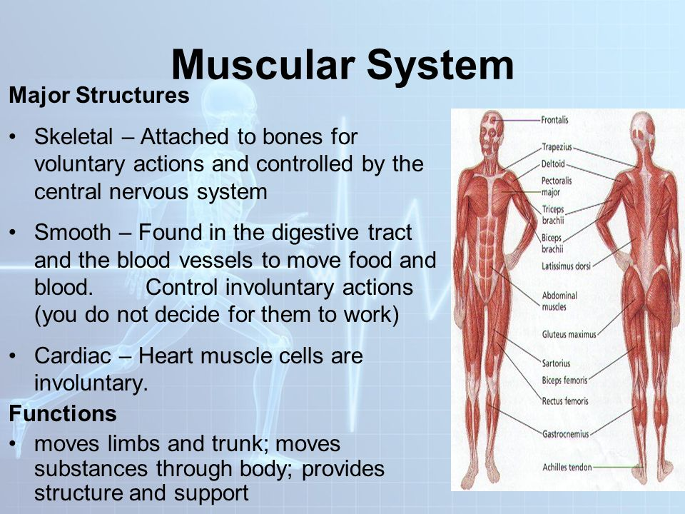 Unique Muscular System Major Functions Embellishment - Human Anatomy ...