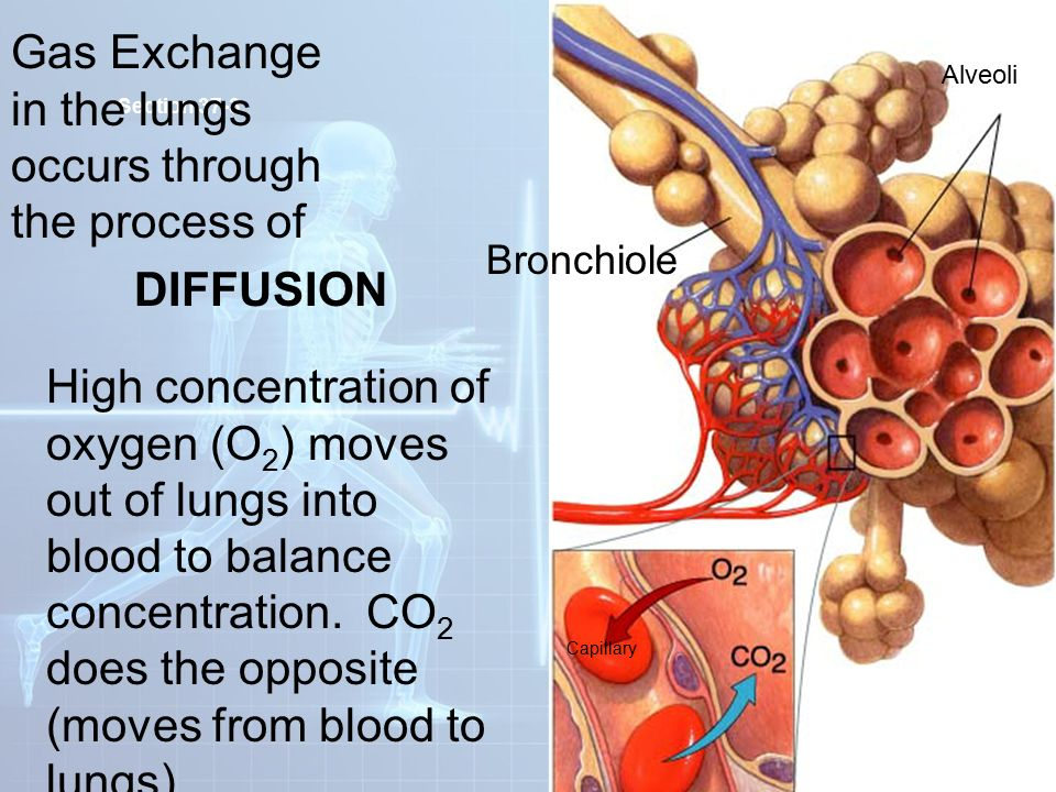 Blood Flow Through The Heart And Body besides What Is Total Peripheral Resistance further Circulatory System further How The Digestive System Works moreover The Human Body Systems2. on how does the human body circulatory system