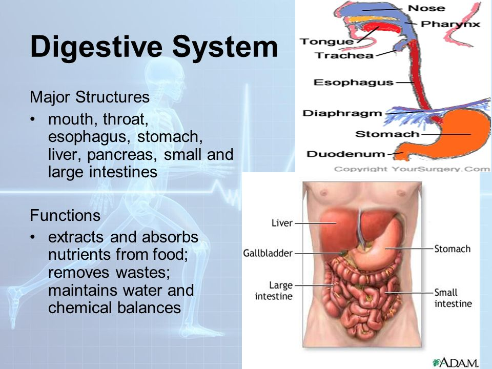 Digestive system esophagus function