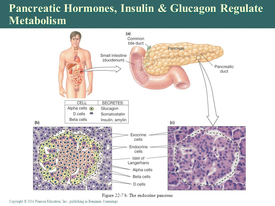 pancreatic endocrine hormones glucagon and insulin work This hormone counteracts hypoglycaemia and opposes insulin actions by  an  abnormal function of these cells can generate failures in the control of glycaemia   glucagon-secreting α-cells are one of the main endocrine cell.