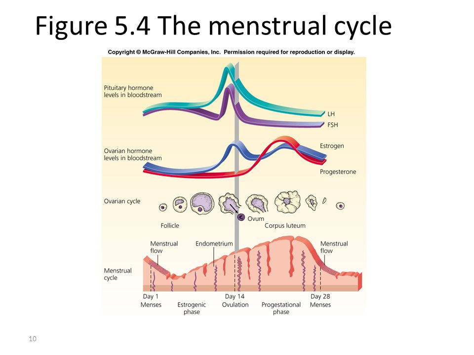 Figure 5.4 The menstrual cycle