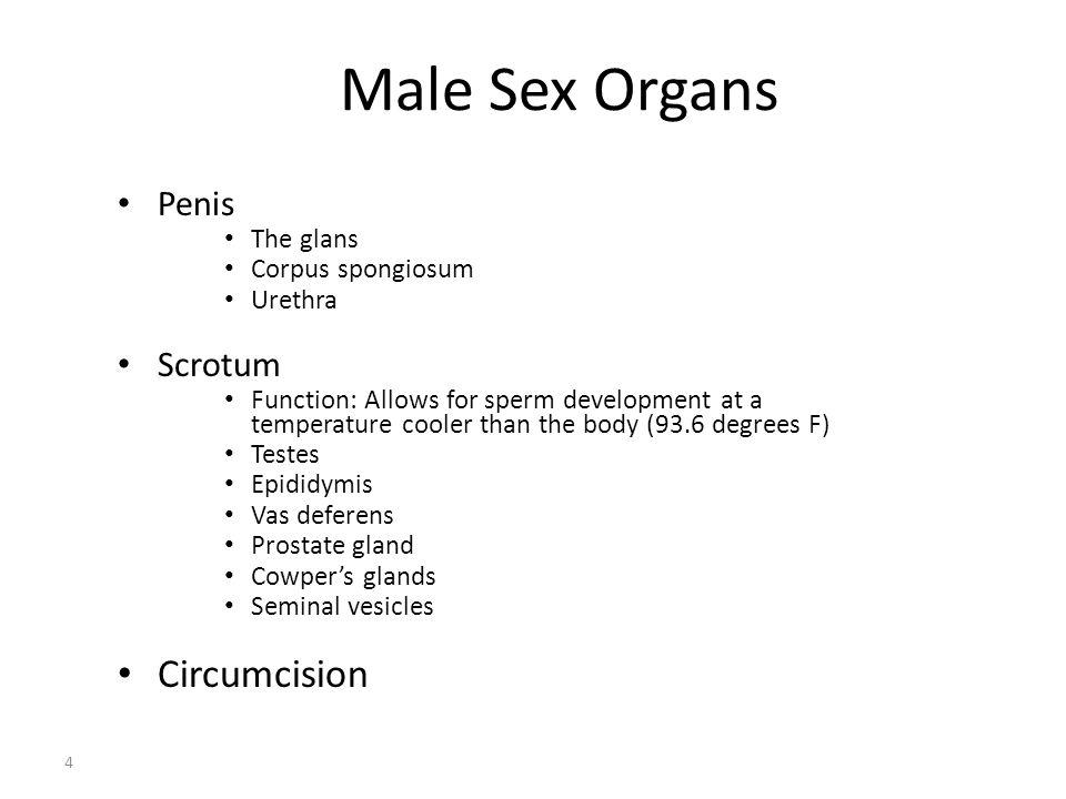 Male Sex Organs Circumcision Penis Scrotum The glans Corpus spongiosum