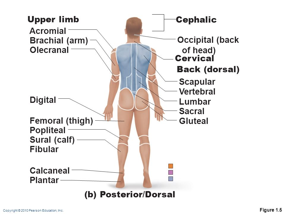Upper limb Cephalic Acromial Brachial (arm) Occipital (back of head)