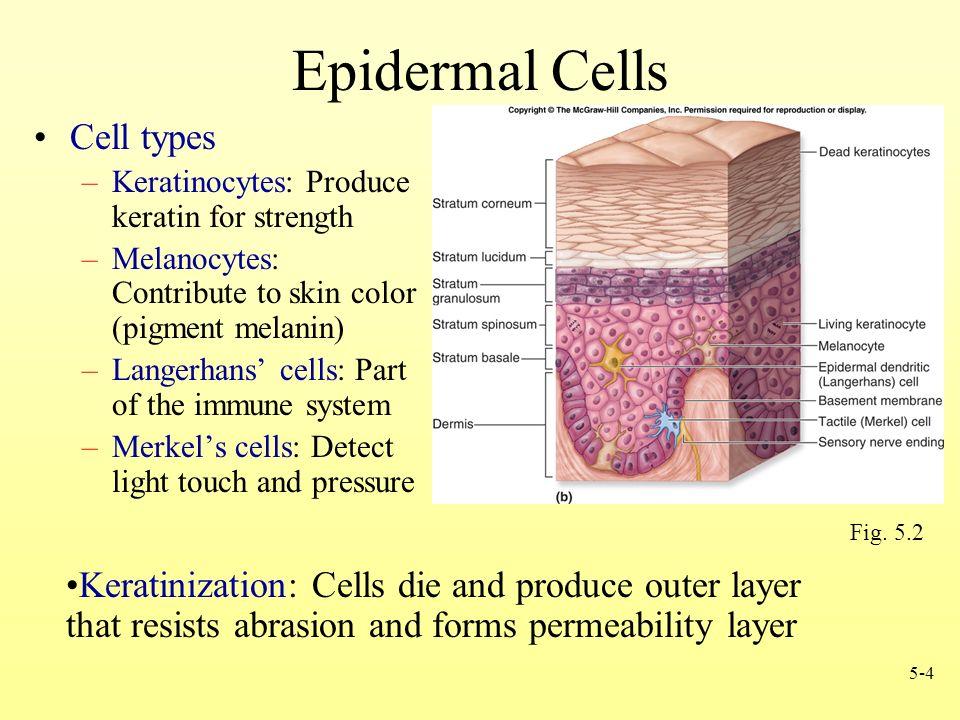 Epidermal Skin Cell   Gallery