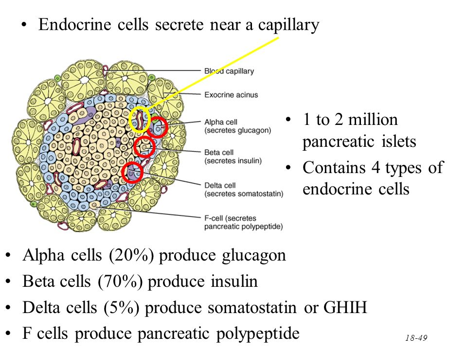 pancreatic endocrine hormones glucagon and insulin work The endocrine pancreas: introduction and index scattered throughout the exocrine tissue are several hundred thousand clusters of endocrine cells which produce the hormones insulin and glucagon core information on the endocrine pancreas and pancreatic hormones is presented in the.