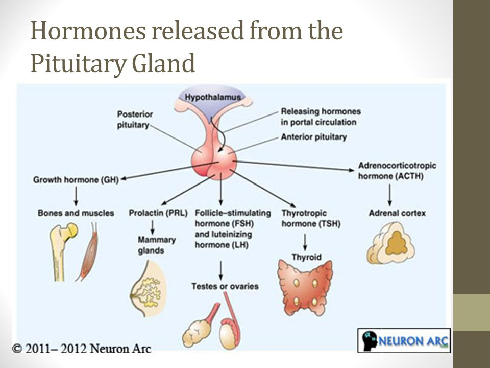 pituitary gland hormones The pituitary gland possesses three sections based upon its histology the  anterior portion secretes protein hormones into its circulatory.