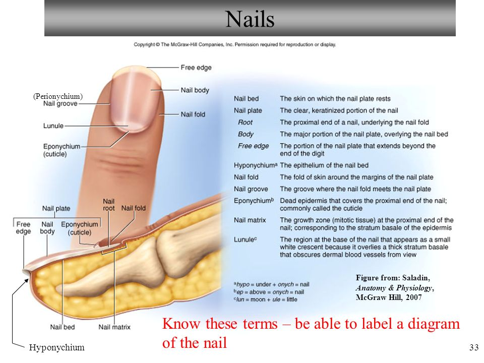 Anatomy and physiology ppt video online download nails know these terms be able to label a diagram of the nail ccuart Images