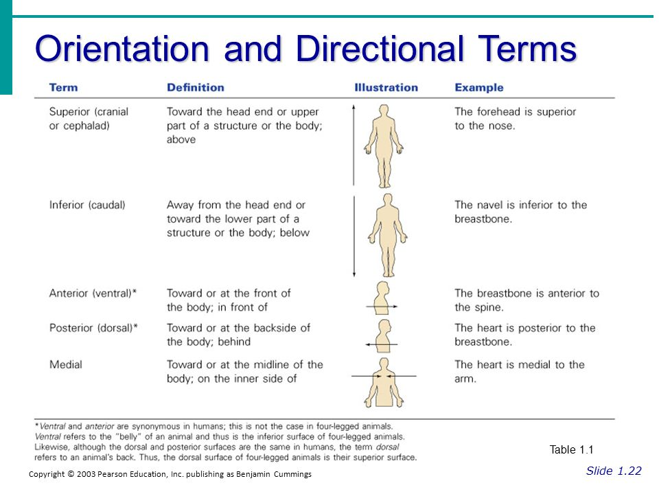 Orientation And Directional Terms Anatomy Image collections - human ...