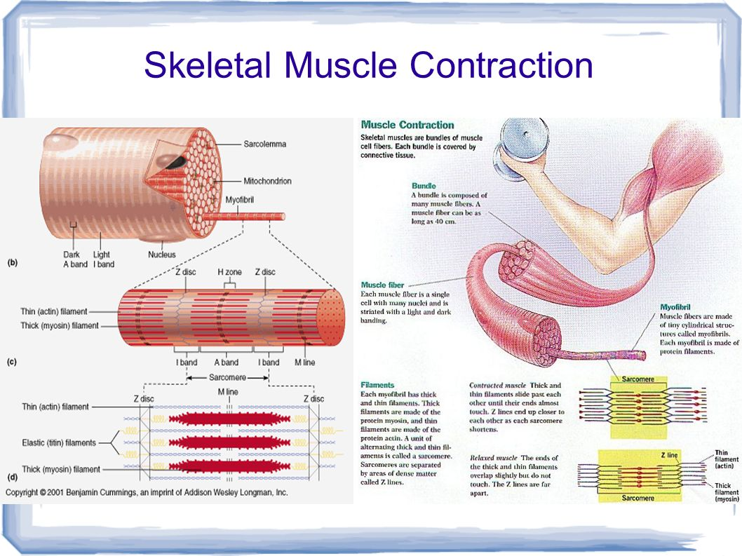 muscle contractions A concentric muscle contraction is a type of muscle activation that increases tension on a muscle as it shortens learn how it works in the gym.
