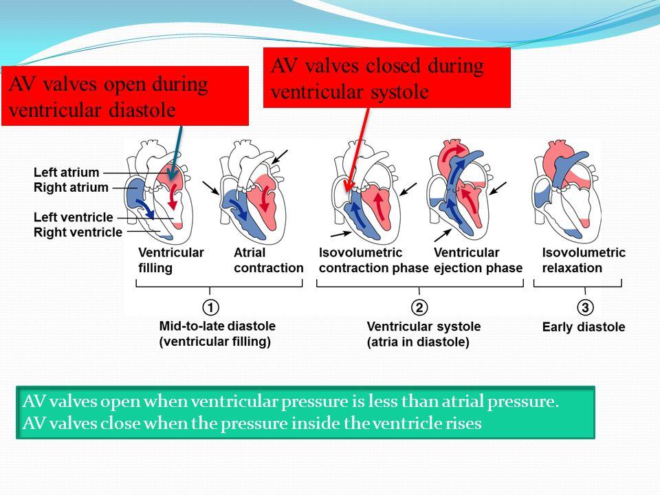 AV valves closed during ventricular systole
