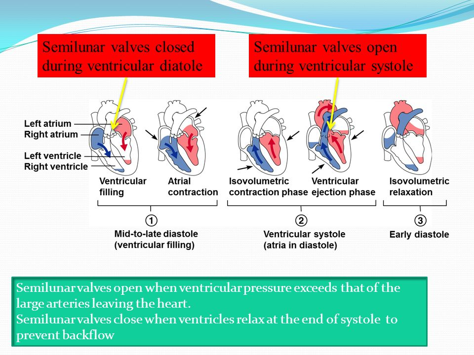 Semilunar valves closed during ventricular diatole