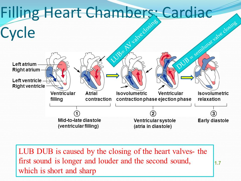 Filling Heart Chambers: Cardiac Cycle