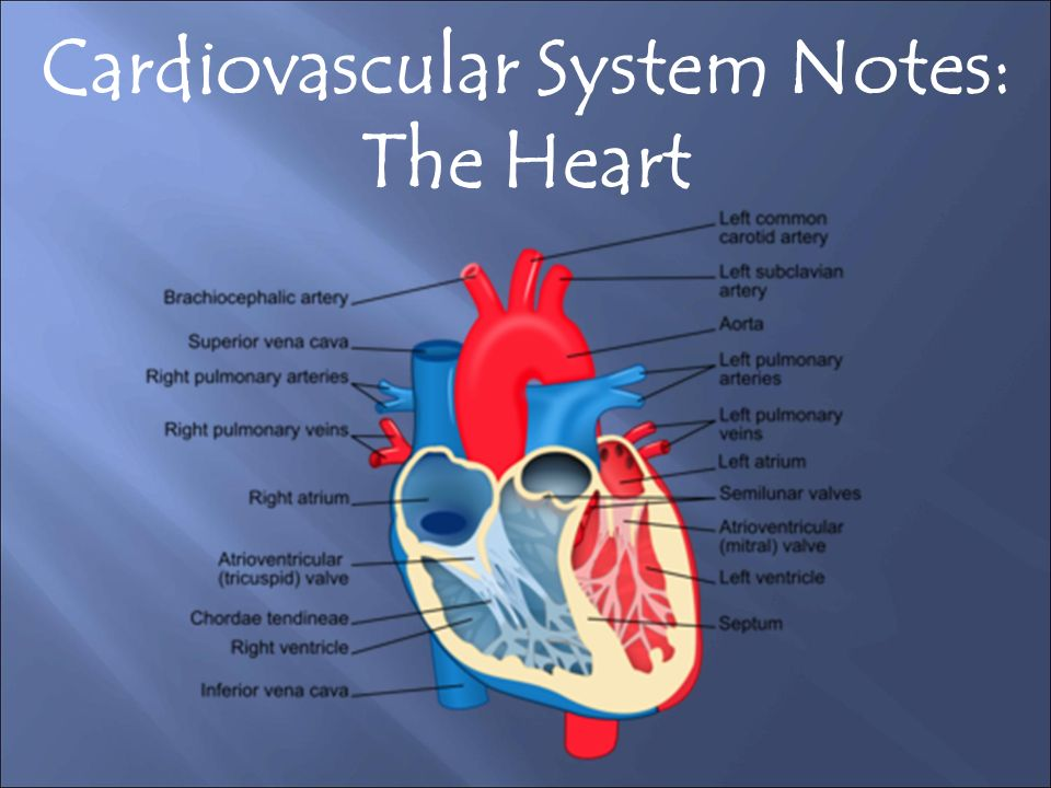 cardiovascular system notes Cardiovascular system, heart anatomy, blood vessels, pulmonary circulation, systemic circulation, pumping chambers, tricuspid valve, cardiac muscle cells, cardiac action potentials are some points from this lecture human physiology lecture handout its a very detailed and comprehensive lecture notes, study notes for human physiology.