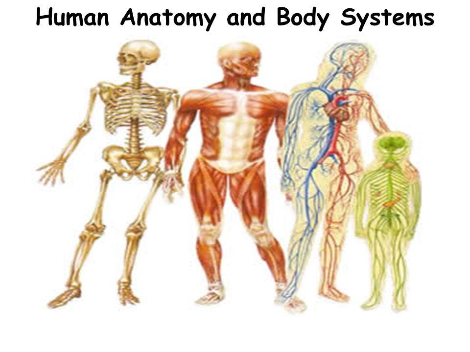 Human Anatomy And Body Systems Ppt Download