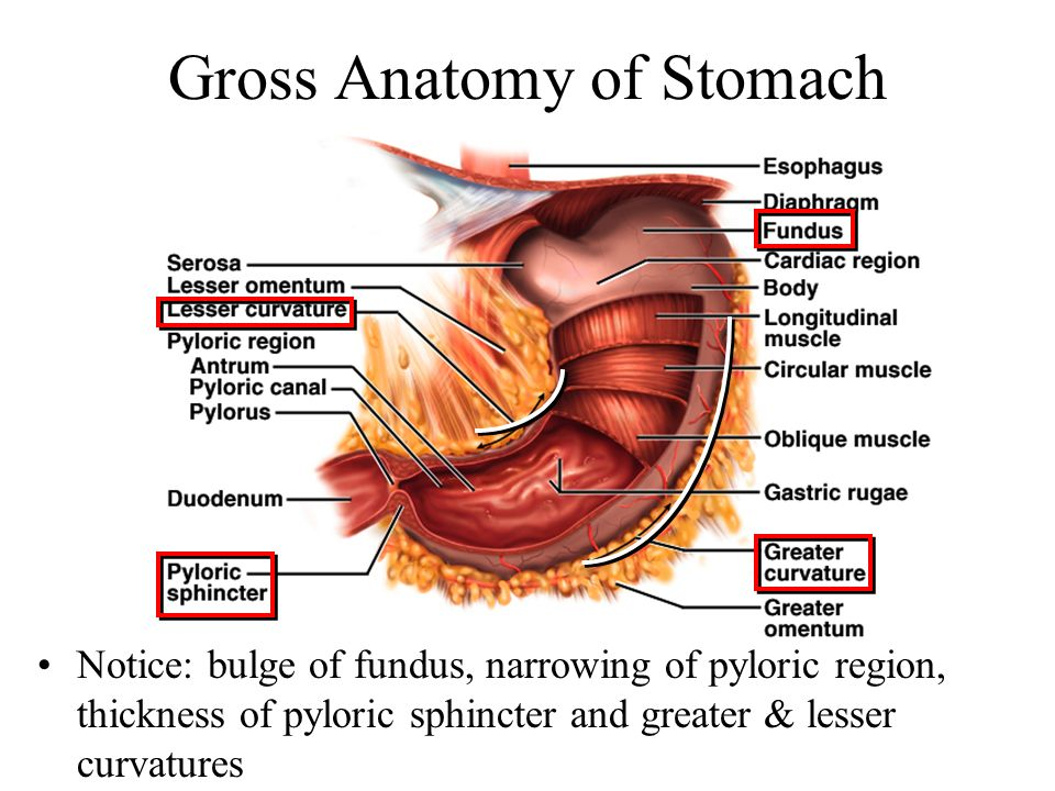 Stomach Anatomy Rugae Images - How To Guide And Refrence
