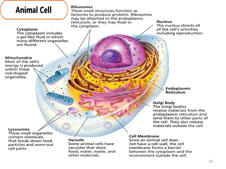 Golgi bodies animal cell