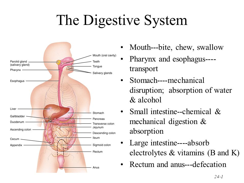 The Digestive System Mouth---bite, chew, swallow