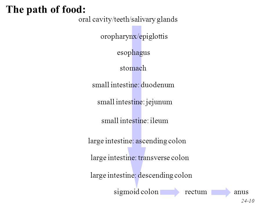 The path of food: oral cavity/teeth/salivary glands