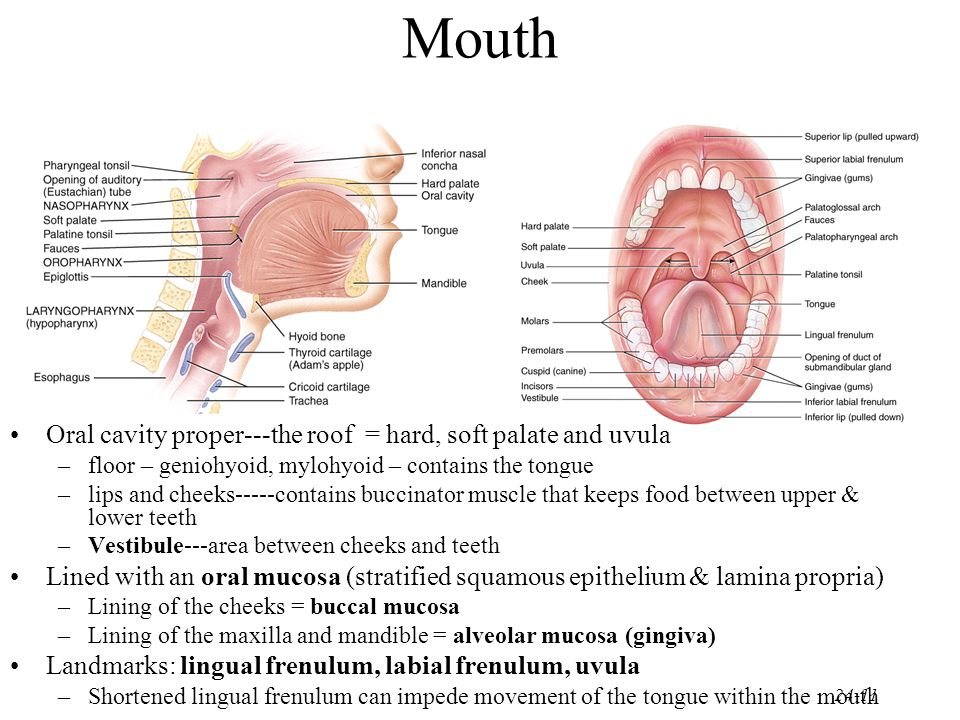 Mouth Oral cavity proper---the roof = hard, soft palate and uvula