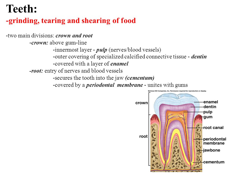 Teeth: -grinding, tearing and shearing of food