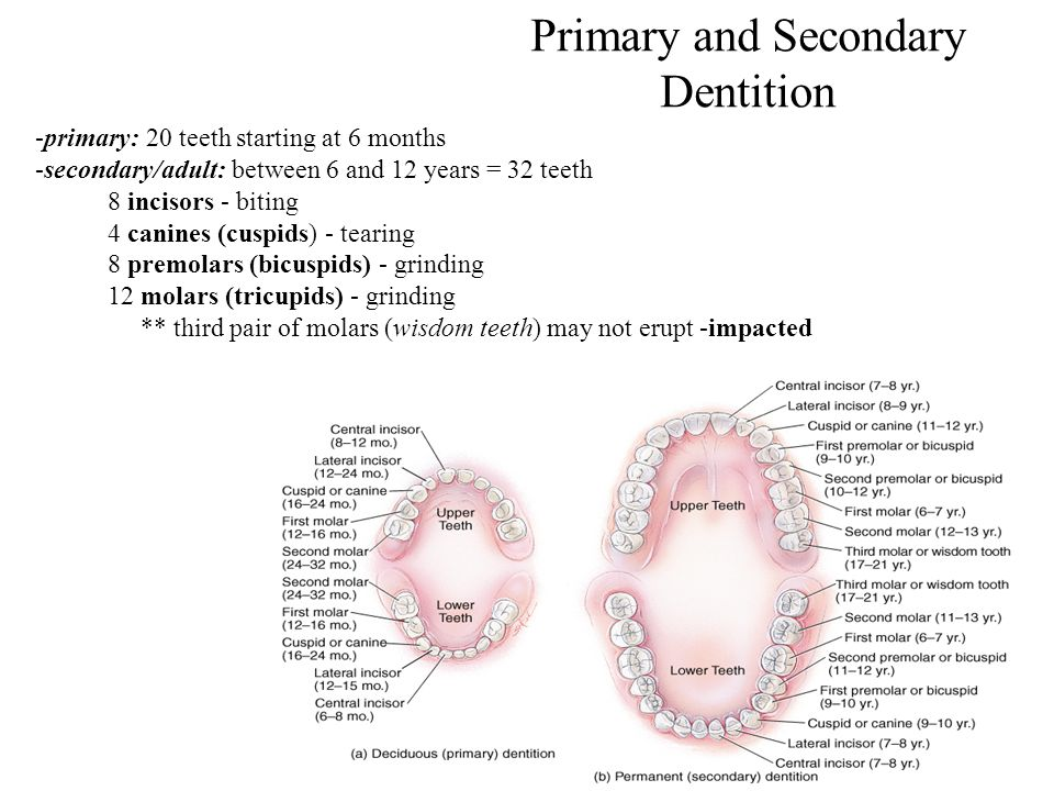 Primary and Secondary Dentition