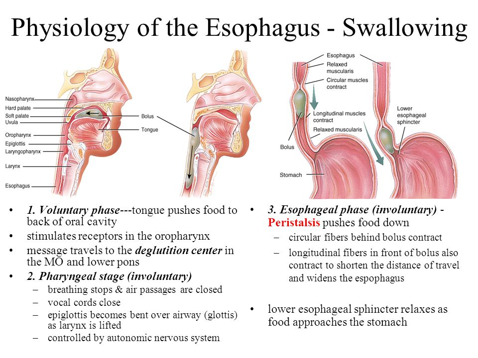 Physiology of the Esophagus - Swallowing