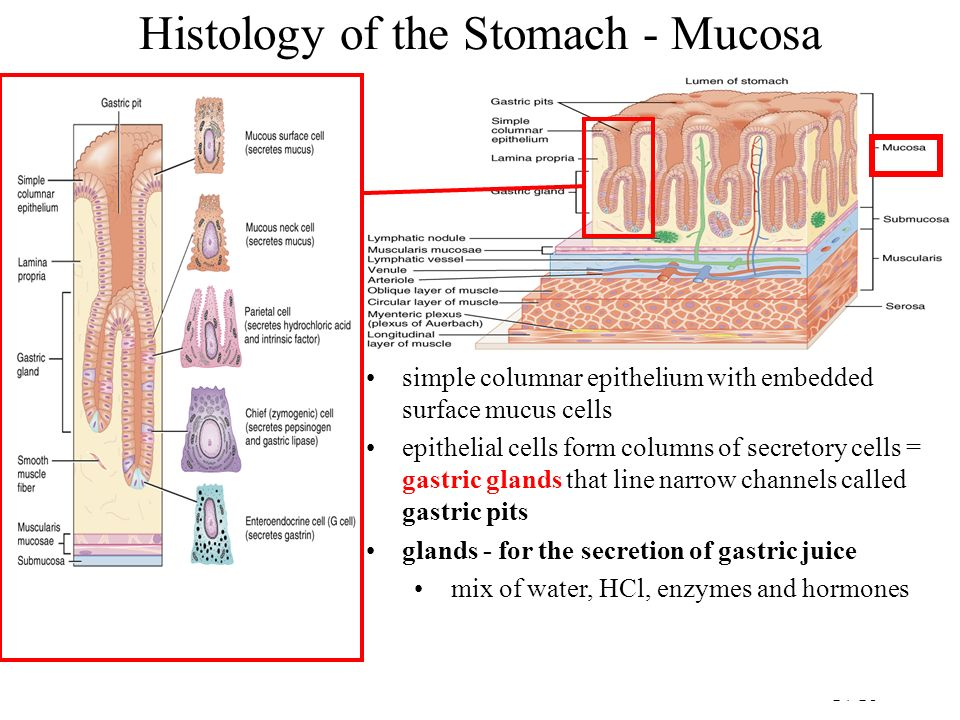 Histology of the Stomach - Mucosa