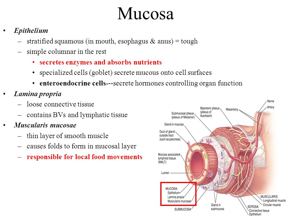 Mucosa Epithelium. stratified squamous (in mouth, esophagus & anus) = tough. simple columnar in the rest.
