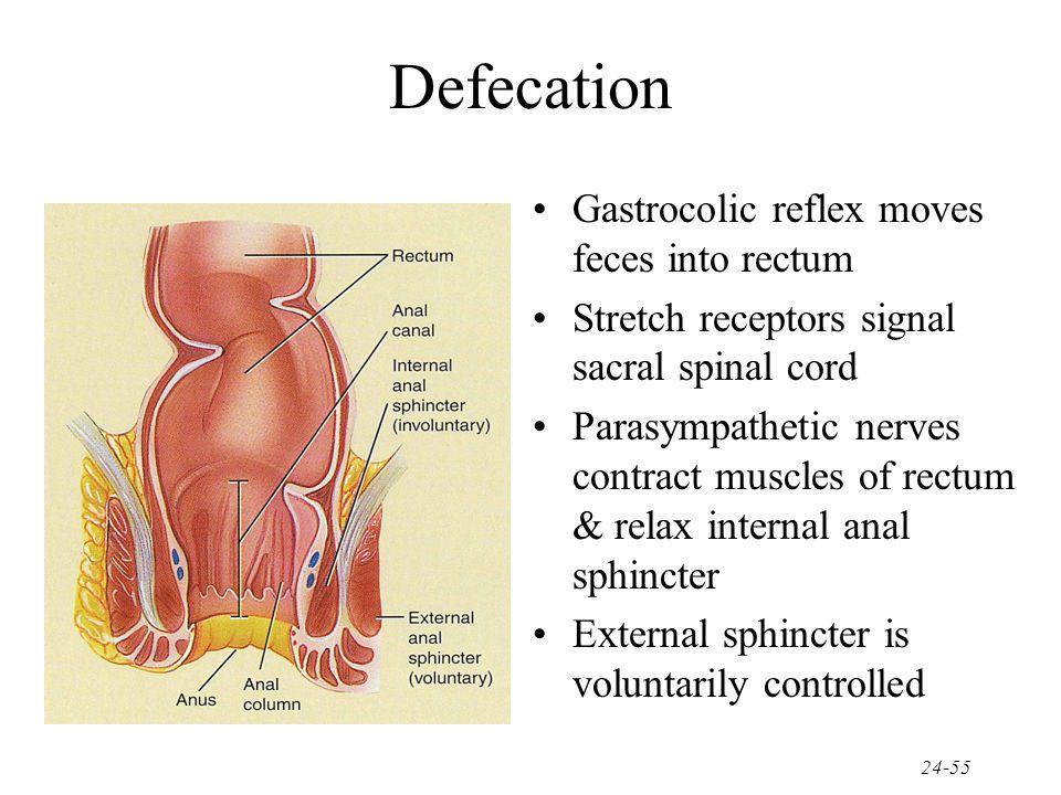 Defecation Gastrocolic reflex moves feces into rectum