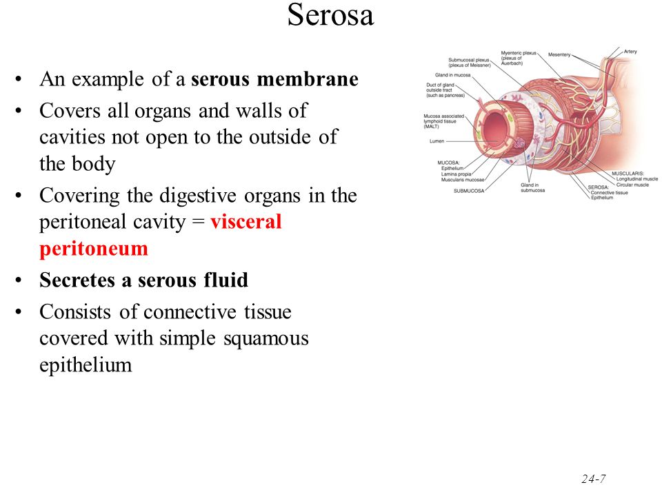 Serosa An example of a serous membrane