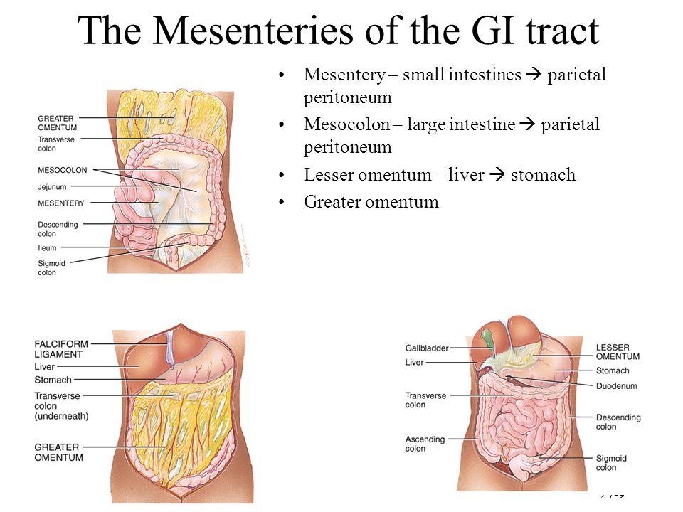 The Mesenteries of the GI tract