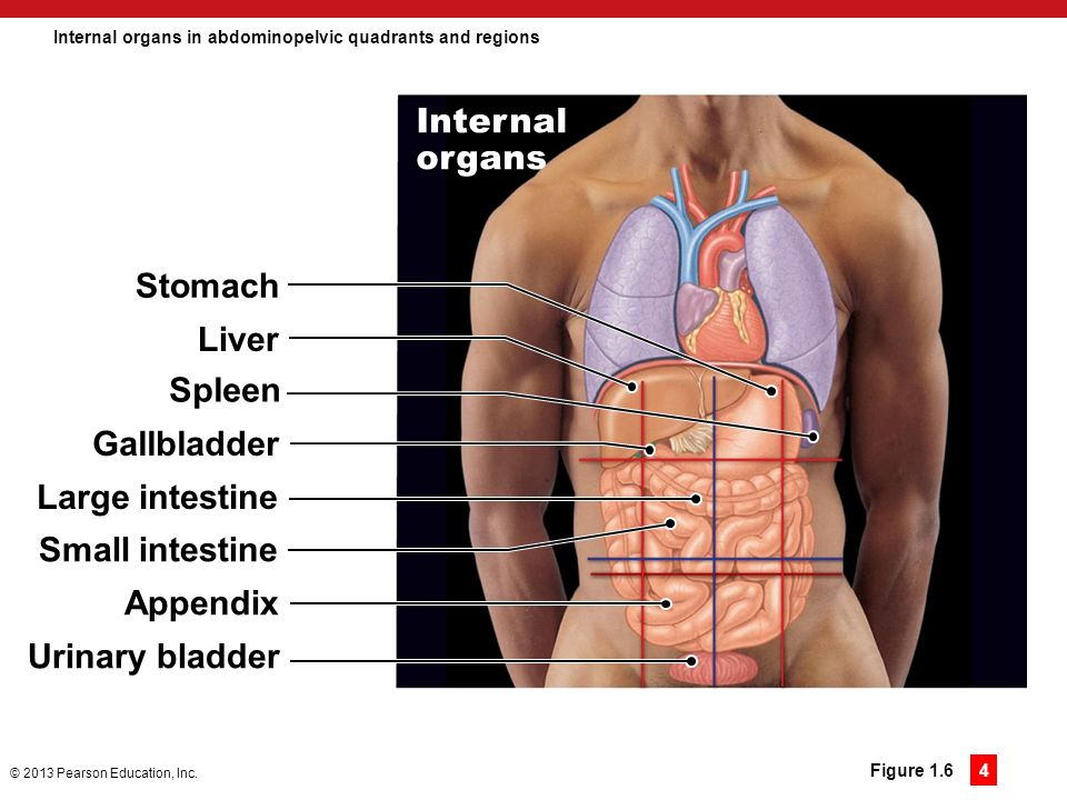 An introduction to anatomy and physiology ppt download internal organs in abdominopelvic quadrants and regions ccuart Image collections