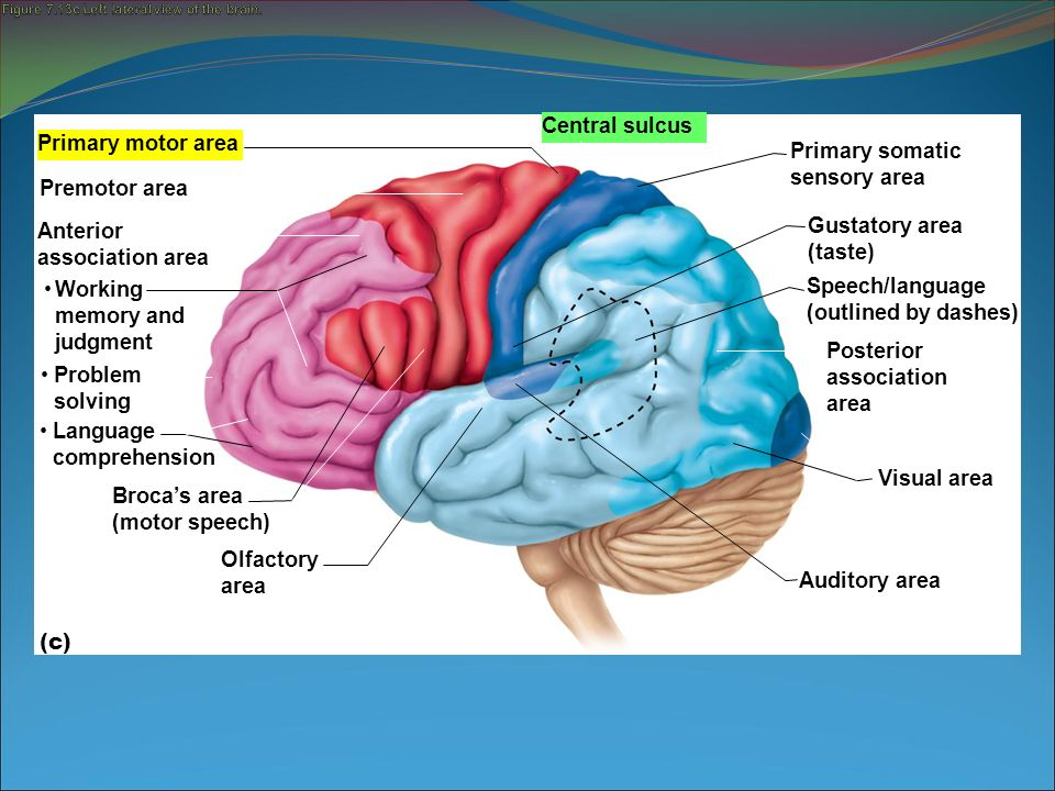 Functions Of Major Brain Regions