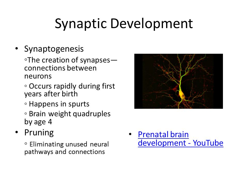 the roles of synaptogenesis synaptic pruning and myelination in brain development In female brains there is more overlap between the functions of the  synaptic  pruning makes it clear that brain development is dependent on all forms of  in  myelination and synaptogenesis (including synaptic pruning), especially of the.